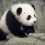 Get Paid to Play and Sleep Alongside Pandas as a Full-time Job
